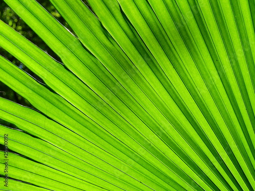 texture of green palm leaf - 259510092