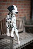junger Dalmatiner Welpe, süß, hübsch, niedlich Porträt