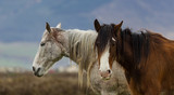 Close up on two Hairy horses in rural Ireland