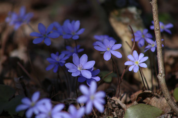 Hepatica small wild flower in forest. Liverwort blooming in early spring.