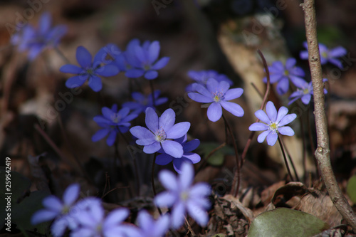 Hepatica small wild flower in forest. Liverwort blooming in early spring. © vaitekune