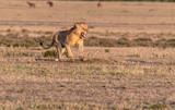 Male Lion roaring loud at sunrise in Maasai Mara