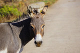 Fototapeta Fototapety z końmi - Donkeys in Asinara island © Iva