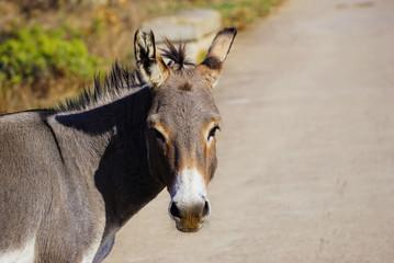 Donkeys in Asinara island