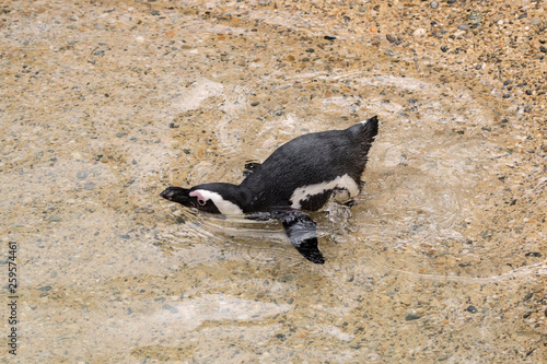 african penguin in a zoo in italy - 259574461