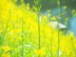canvas print picture - 黄色い菜の花