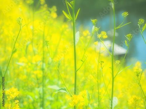 canvas print picture 黄色い菜の花