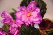 bright pink violets