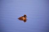 Fototapeta Bathroom - kaczka, staw, jezioro, kaczątko, młode,  © ucja