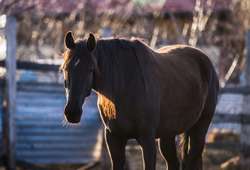 Beautiful black horse with a long mane poses for a photo at sunset