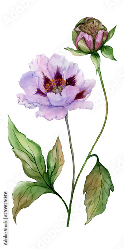 Beautiful Paeonia suffruticosa (Chinese peony) flower on a stem with green leaves. Pink and purple flower isolated on white background. Watercolor painting. © katiko2016