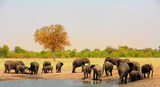 Panoramic view of a large herd of African Elephants next to a waterhole in Hwange National Park, Zimbabwe, Southern Africa