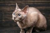 Thoroughbred devonrex cat