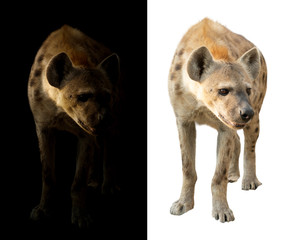 spotted hyena in the dark and white background