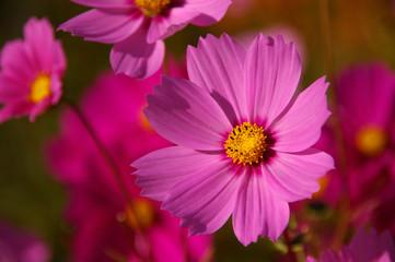 ピンクと白のコスモスのお花畑