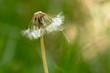 pissenlit graine vert herbe champ vent fleur