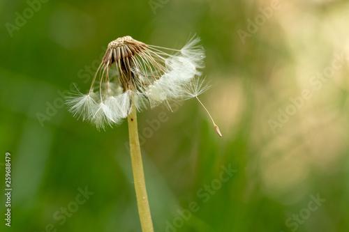 pissenlit graine vert herbe champ vent fleur - 259688479