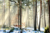 Fototapeta Room - Wschodzące słońce w zimowym, leśnym krajobrazie © milena1990