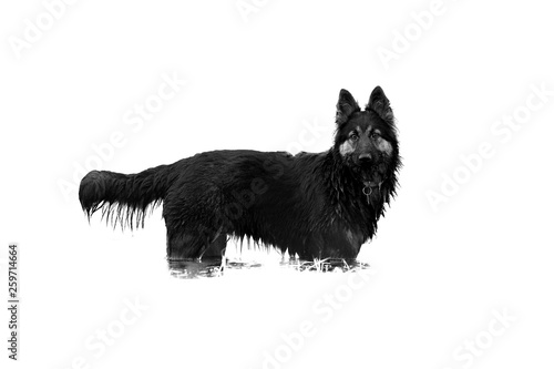 fototapeta na ścianę Isolated on white background, hairy dog, Bohemian shepherd, purebred, staring at camera. Dog standing in water, side view, low angle photo. Black and white photo. Czechia.