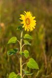 Sunflower growing in the garden