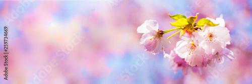 Blüten Kirschbaum bunt Panorama - 259734669