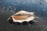 big seashell spider conch (lambis truncata) on black sand shore - 259736676