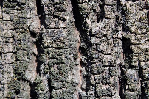 Corteccia rugosa © mauro tombolini