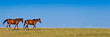 Two horses walking in a meadow, panoramic background with copy space