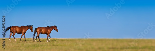 Two horses walking in a meadow, panoramic background with copy space - 259739206