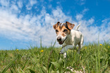 Jack Russell Terrier dog on a meadwon in front of blue sky
