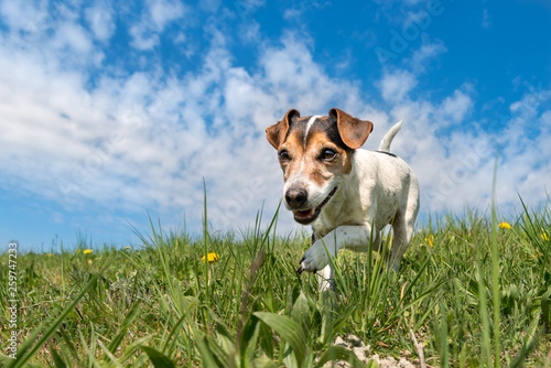 Leinwandbild Motiv Jack Russell Terrier dog on a meadwon in front of blue sky
