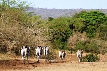 Lustige Rückansicht von fünf Zebras im Krüger Nationalpark in Südafrika