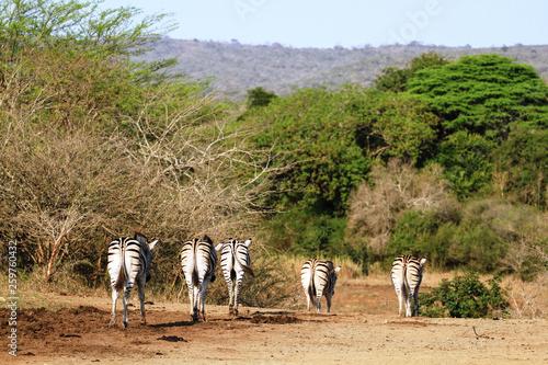 Lustige Rückansicht von fünf Zebras im Krüger Nationalpark in Südafrika - 259760432