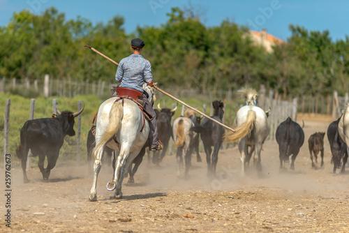 zaganianie bydła na ranczo we Francji © Kamil_k2p