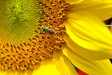 Green-headed Wasp on Sunflower