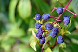 Edible Fruits or berries of Fuchsia paniculata plant. Close up image with copy space.
