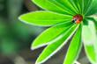 Leinwandbild Motiv Ladybug on green leaf, ladybird creeps on plant in spring in garden in summer
