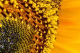 The sunflower nectar