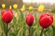 three red tulips closeup and yellow tulips in the background in the garden in holland in springtime - 259797683