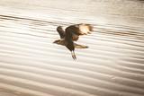 Bird flying over the sea, bird of prey found on the Brazilian coast. Bird of prey found on the Brazilian coast.