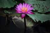Pink Lotus flower beautiful lotus.