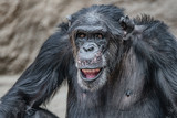 Portrait of laughing and smiling adult Chimpanzee