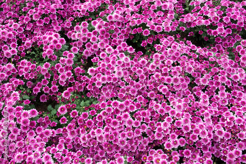 Purple flowers background. Natural Chrysanthemum flowers in the garden texture - 259860891