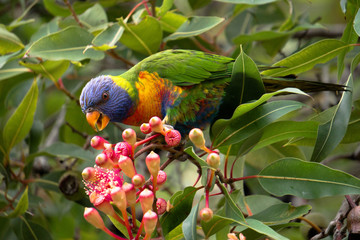 rainbow lorikeet in a blooming tree © Mariia