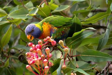 rainbow lorikeet in a blooming tree