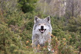 Wolf in Norway