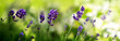 Quadro Sunshine on blue lavender flowers. Nature background.