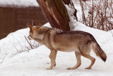wolf hunts down in the winter forest dabychu