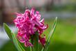 canvas print picture - Pinke blume im Frühling