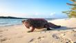 canvas print picture - Echsen am Strand von Exuma, Bahamas